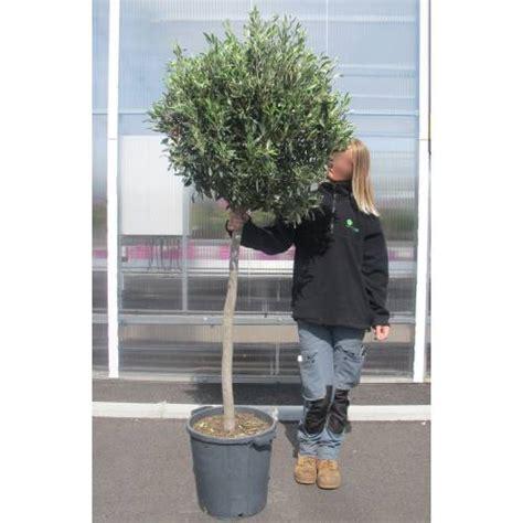olivier tige vente olivier tige olea europea deco1