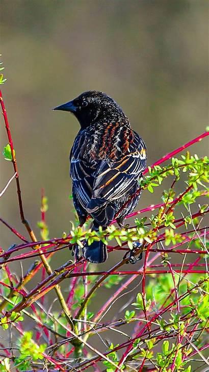 Birds Spring Bird Wallpapers Iphone Phone Desktop