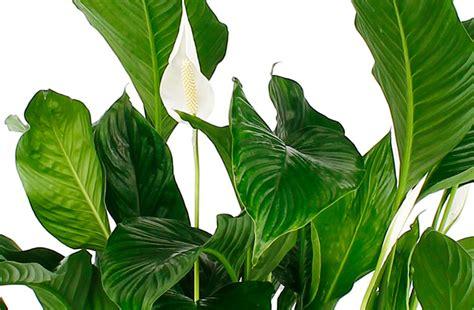 Einblatt Pflege Tipps by Spathiphyllum Pflege