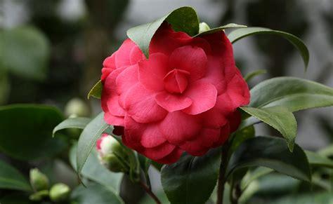 restaurant le bureau bourges entretien du camelia en pot 28 images 233 lia camellia