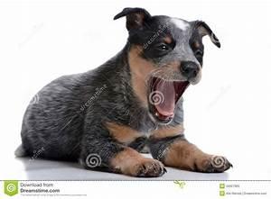 Heeler Pup Royalty Free Stock Photo - Image: 34927905