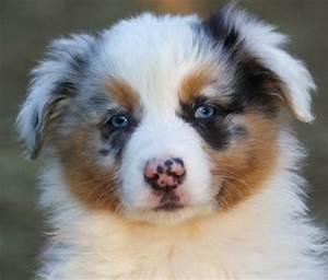 Australian Shepherd Puppies Blue Eyes | www.pixshark.com ...