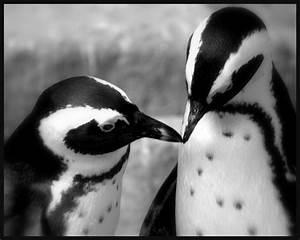 Schwarz Weiß Bilder Tiere : liebe in schwarz wei foto bild tiere zoo wildpark falknerei v gel bilder auf ~ Markanthonyermac.com Haus und Dekorationen