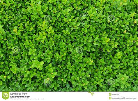 shrub image buxus evergreen shrub stock image image of bush plant 41455189