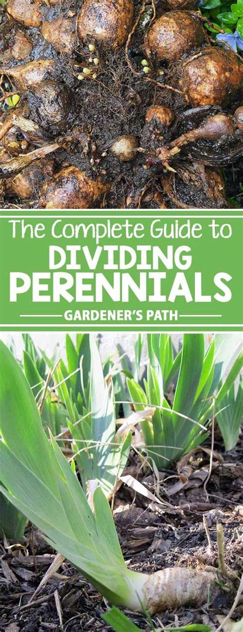 how to divide perennials how to divide perennials perennials division and paths