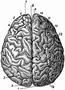Brain Viewed From Above