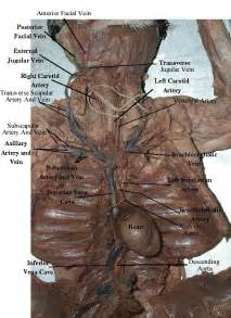 cat dissection cat dissection arteries arteries and veins of appendages