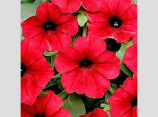 Petunia Seeds F1 Tidal Wave Red Velour Flower Seeds