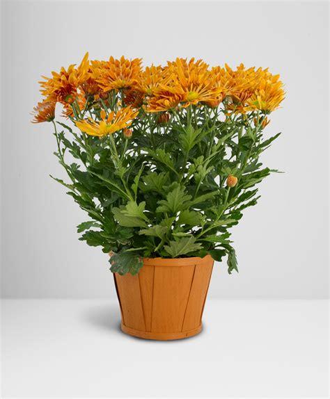 will mums bloom chrysanthemum make me bloom
