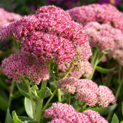 sedum with pink flowers pink stonecrop sedum flower