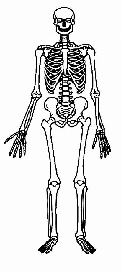 Clipart Skeleton Human Cliparts Clipartbest