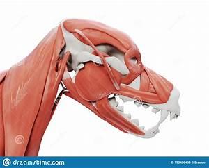 Dog Muscles Anatomy