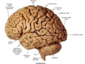 Brain Fissures and Sulcus