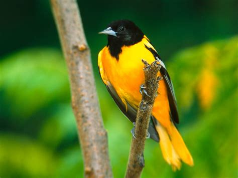 dawn of battle yellow bird