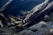 Veche Creek, Tver Region, Russia, 240 L • Biotope Aquarium