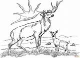 Elk Coloring Pages Bull sketch template