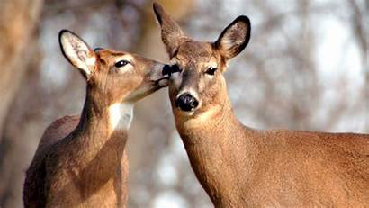 Deer Couple Cute Animal Wallpapers Animals