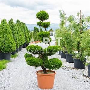Arbre En Nuage : arbre nuage de grande taille pour ext rieur juniperus fitzeriana ~ Melissatoandfro.com Idées de Décoration