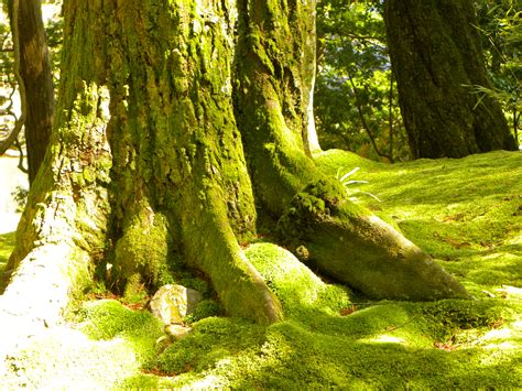 types of moss on trees the moss temple miso cold in japan