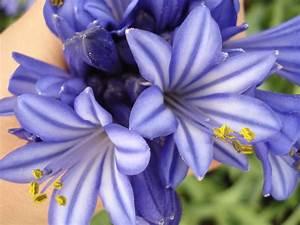 Graines D Agapanthe : agapanthus umbellatus purple cloud agapanthe purple ~ Melissatoandfro.com Idées de Décoration