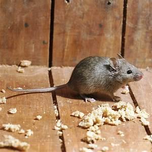 Mittel Gegen Mäuse Im Haus : m use im haus ~ Lizthompson.info Haus und Dekorationen