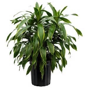 gift baskets canada dracaena deremensis plant