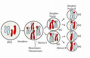 Meiosis I Produces       Cells  Each Of Which Is