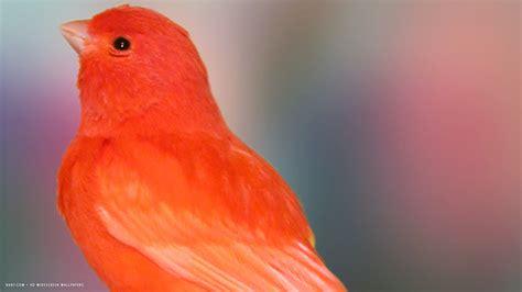 canary red cute bird hd widescreen wallpaper birds