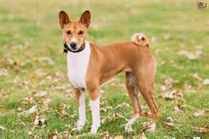 basenji breed information buying advice photos and more pets4homes