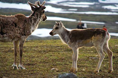 samen samische kultur und rentiere  lappland nord schweden