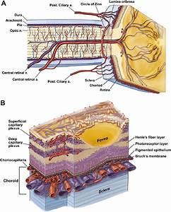 Anatomy Of Ocular Circulation  A