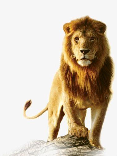 african lion lion king lion clipart male lion animal