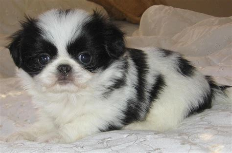japanese chin puppies dogs  sale  memphis
