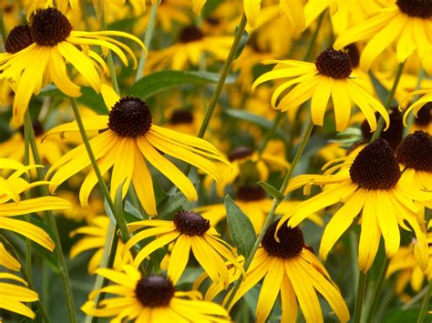 Yellow Picture by Black Eyed Susan Flowers In A Meadow Photo By Rick
