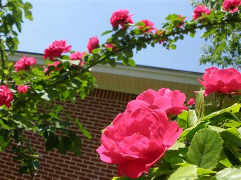 when to cut back climbing roses pruning climbing roses how to prune climbing roses rocky mountains flowers and look at