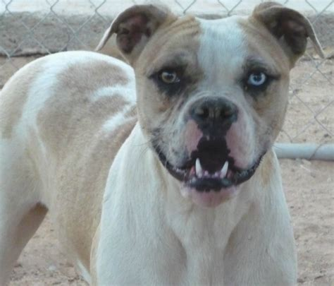 alapaha blue blood bulldog  rare breed  guard dog
