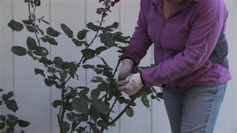 pruning climbing roses winter plant care gardening how to prune climbing roses for winter youtube