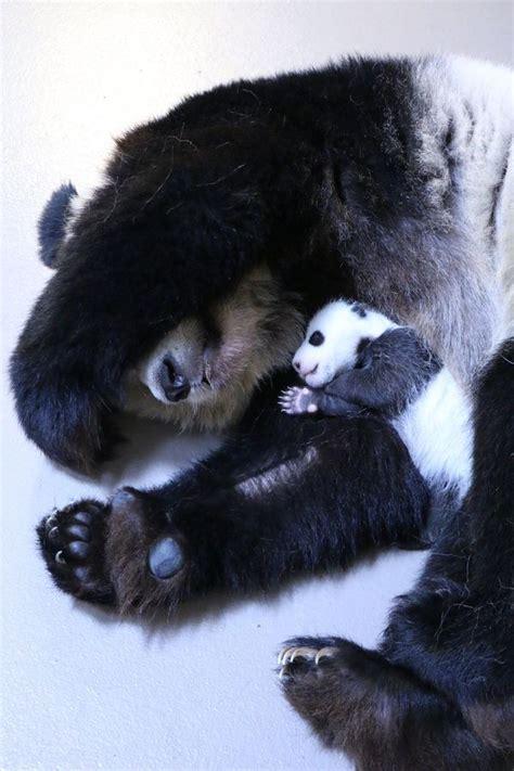 panda cubs toronto mommy bear pandas zoo cub child actually zooborns sleeping giant animali simpatici animaletti japanese animal alive relationship