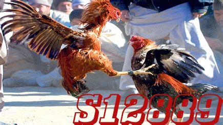 Sabung ayam vietnam, main taruhan sabung ayam online vietnam melalui agen sv388, daftar sabung ayam online vietnam dengan mudah, bisa daftar dengan bank bri bni bca mandiri. SABUNG AYAM: MENGENAL KELEBIHAN AYAM BANGKOK, SAIGON, BIRMA