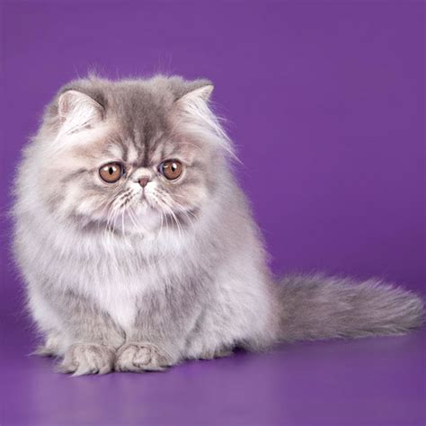 Pix We Love A Panoply Of Persian Kittens! Catster