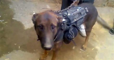 military dog pow fed diet  kebab  taliban captors
