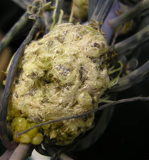 Crown Gall  Description, Symptoms, & Control Britannicacom