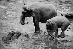 Elephant Black And White Wallpaper HD 07887 - Baltana