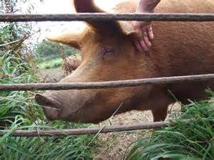 Starting a Pig Farming Business
