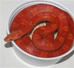 Hypo Bloodred Corn Snake