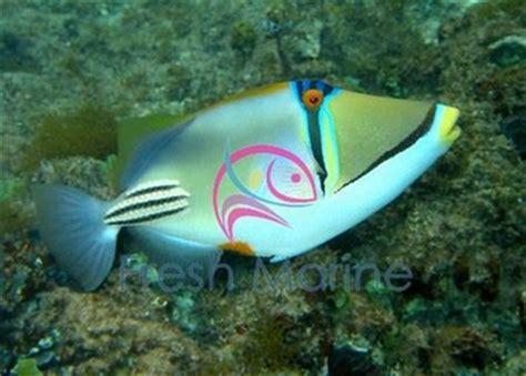 freshmarinecom humahuma picasso trigger fish