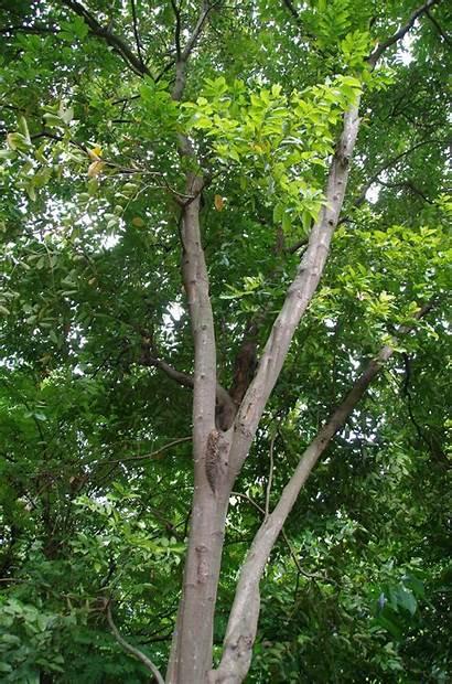 Tree Cinnamon Trees Plants