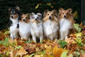 Sheltie Breed Dogs