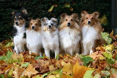 Sheltie Desktop Breed Wallpapers Dog Wallpapersafari