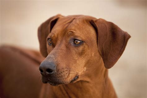 Rhodesian Ridgeback Puppy Shedding by Zejak Aysi At Ojore Quot Quot